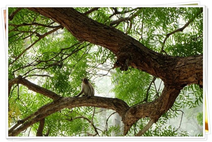 Seekor monyet abu-abu